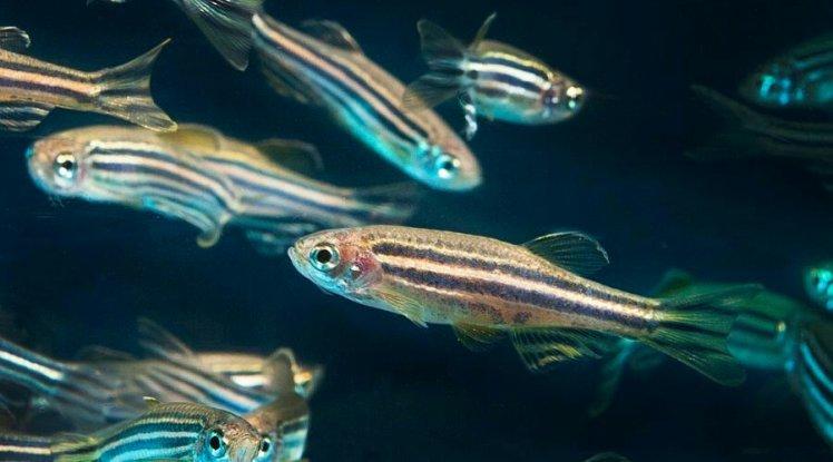 Photo of some zebra fish